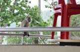 Joelle le macaque